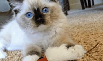 KB Beauregard - Ragdoll Kitten of the Month