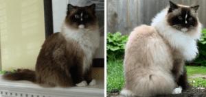 Seal Ragdoll Cat Color Change Charlie