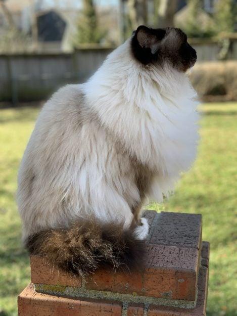 Seal Mitted Ragdoll Cat avec un profil de miaulement de Blaze Charlie jusqu'à