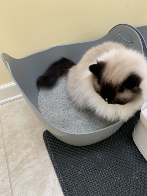 Seal Mitted Ragdoll cat Charlie with a blaze peeing in the litterbox IMG_9533