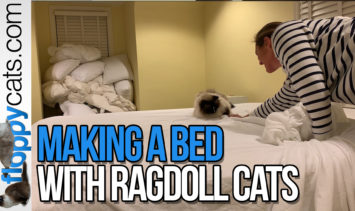 making a bed with ragdoll cats