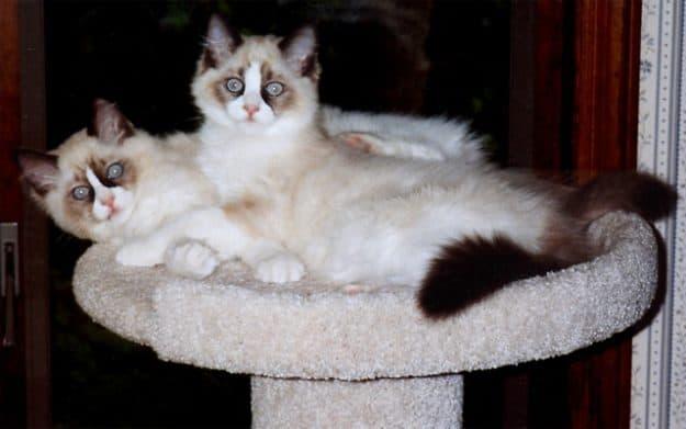Winston & Churchill - Ragdoll of the Week Cat1