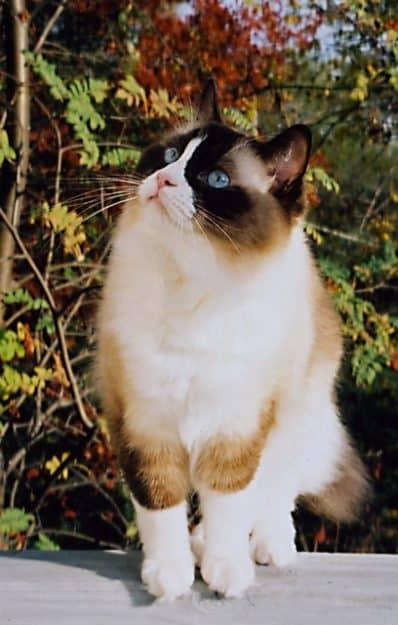 Winston & Churchill - Ragdoll of the Week Cat2