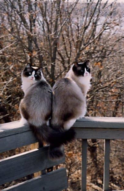 Winston & Churchill - Ragdoll of the Week Cat3