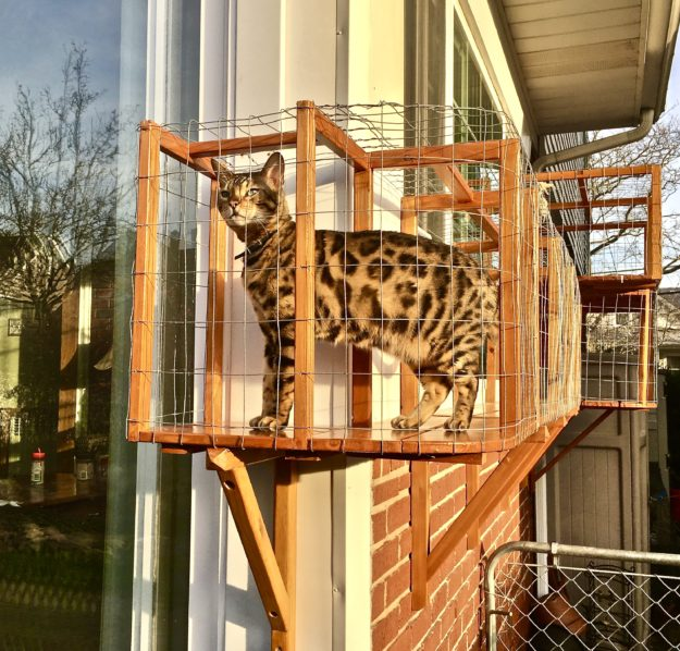 Chester Bengal - Floppycat of the Week Chester 5 YO