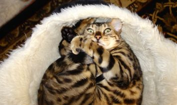 Chester Bengal - Floppycat of the Week Chester Dec 2014