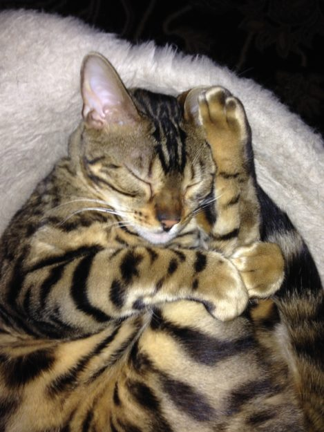 Chester Bengal - Floppycat of the Week Chester March2016