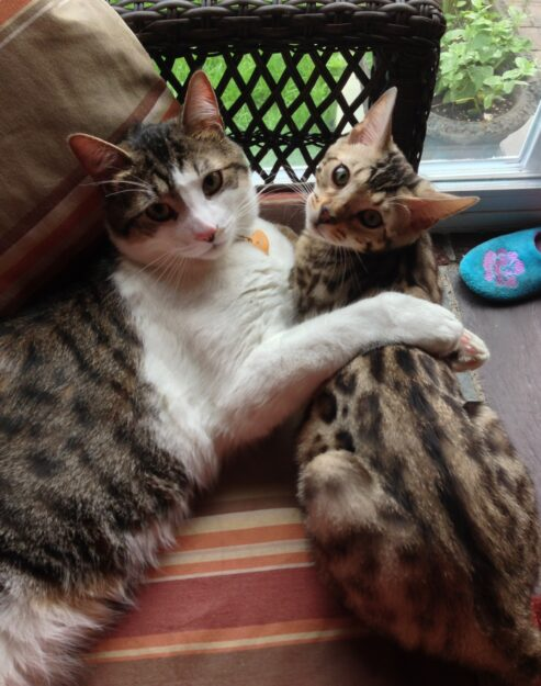 Chester Bengal - Floppycat of the Week Chester_Milo Hug