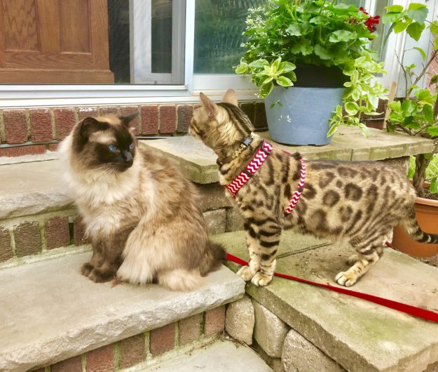 Chester Bengal - Floppycat of the Week IMG_2620