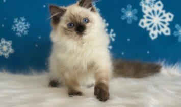 Ulalume - Ragdoll Kitten of the Month Photo from O Canada Ragdolls