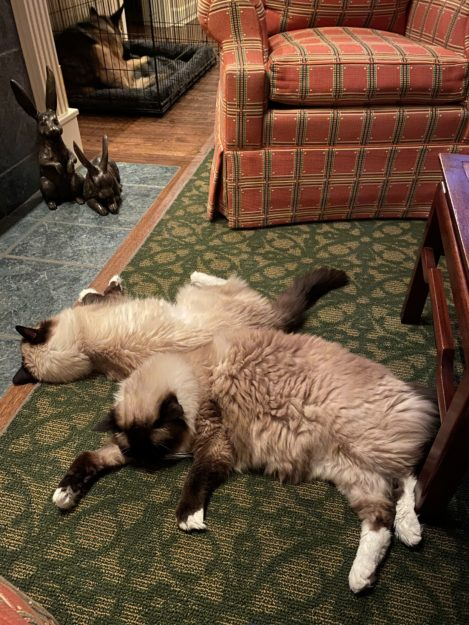 15-year old Seal Mitted Ragdoll Cat with an hourglass blaze Murphy and 15-year old Seal Mitted Ragdoll Cat Caymus sleeping by the fire IMG_1628