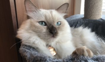 Chanel - Ragdoll Kitten of the Month IMG_8477