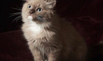 Mocha - Ragdoll Kitten of the Month Hugo 7