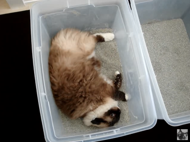 Ragdoll Cat Caymus Rolling in His Litter Box