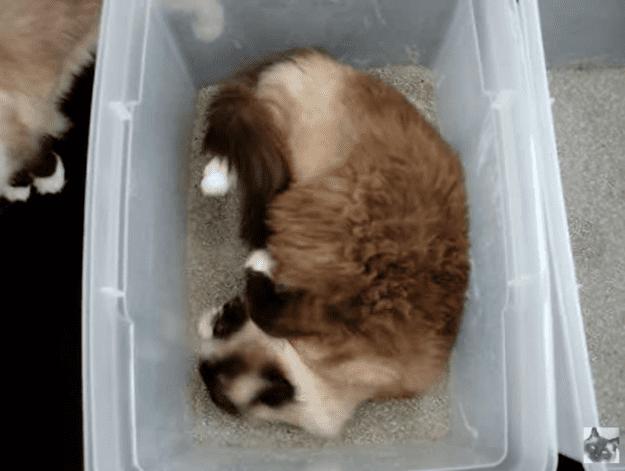 Ragdoll Cat Rolling in His Litter Box