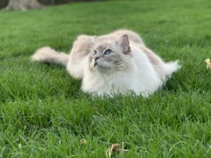 Trigg Chiggy Blue Lynx Mitted Ragdoll cat laying on grass outside IMG_1715