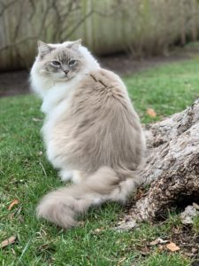 Trigg Chiggy Blue Lynx Mitted Ragdoll cat outside on grass IMG_1157