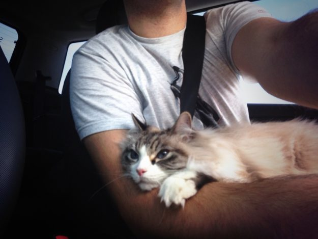 Nessie Burke - Ragdoll of the Week Young Nessie