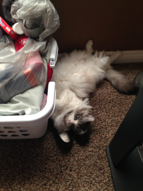 Nessie Burke - Ragdoll of the Week Young Nessie Shoes