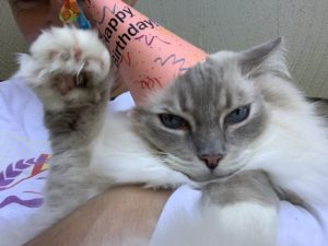 Ragdoll Cat Trigg 11th Birthday IMG_4248