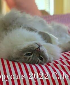 Ragdoll Cat Calendar 2022 Floppycats Cover