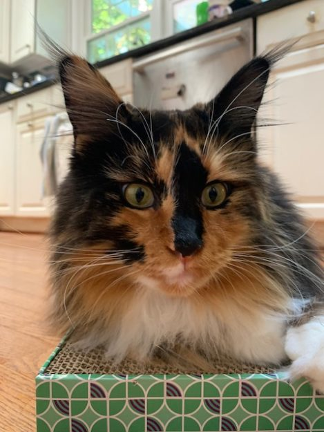 Lily a tortie Maine Coon from Sarajen Maine Coon Cats in Arlington Virginia loved by Leslie