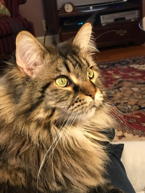 Abigail, age 7 yrs. a brown classic tabby Maine coon, formally known as CH Coonsworth Storm the Bastille IMG_0686