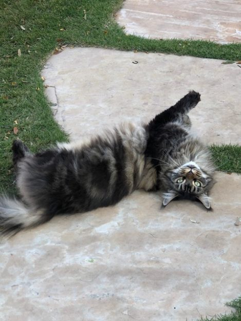 Coco Maine Coon loved by Patti