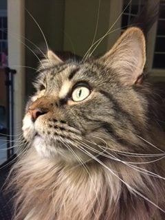 Leo in NJ. Submitted by Carol Maine Coon Cat Pic IMG_0967