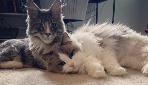 Mr Bear and Rupert loved by Lindsey Maine Coon and Ragdoll Cat