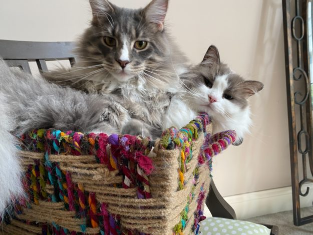 Mr Bear and Rupert loved by Lindsey Maine Coon and Ragdoll Cat IMG_0513