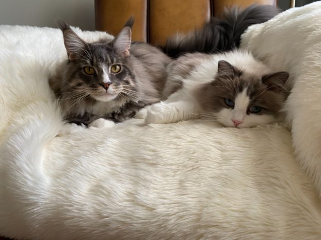 Mr Bear and Rupert loved by Lindsey Maine Coon and Ragdoll Cat IMG_0618