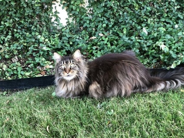 Zoey Maine Coon loved by Patti