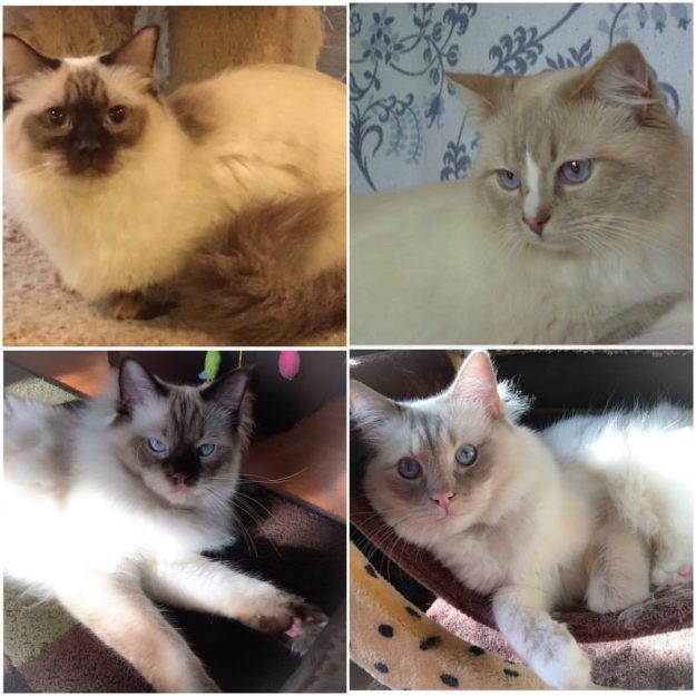 Lonerock Sylvestor of Starliterags - Lilac Mitted Lynx with a blaze Brown Sugar of Starliterags ~ Chocolate Point Chewie is also Chocolate point Yoda is also Lilac mitten Lynx
