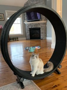 One Fast Cat exercise wheel bimini the ragdoll