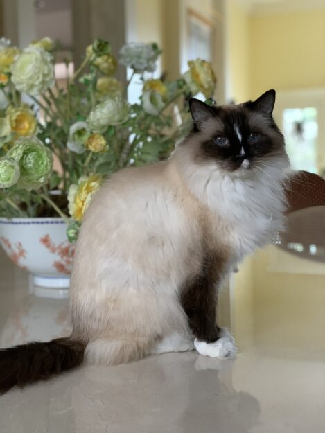 Seal Mitted with a Blaze Ragdoll Cat Murphy 16 years old on dining table by flowers IMG_1149
