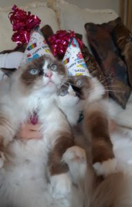 Daisy and Lacy - Ragdolls of the Week 20210523_155114