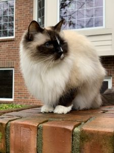 16-year old Seal mitted ragdoll cat with a blaze Murphy outside no brick ledge