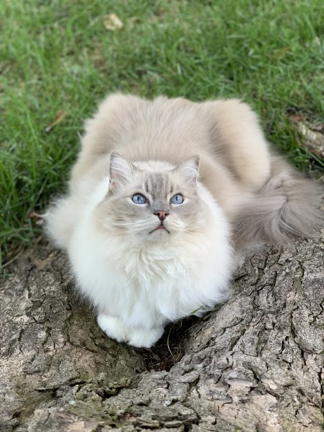 Lynx bleu mis chat Ragdoll Trigg Chiggy à l'extérieur par érable argenté IMG_5516