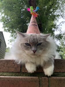Blue lynx mitted Ragdoll cat trigg chiggy 12th birthday IMG_4534