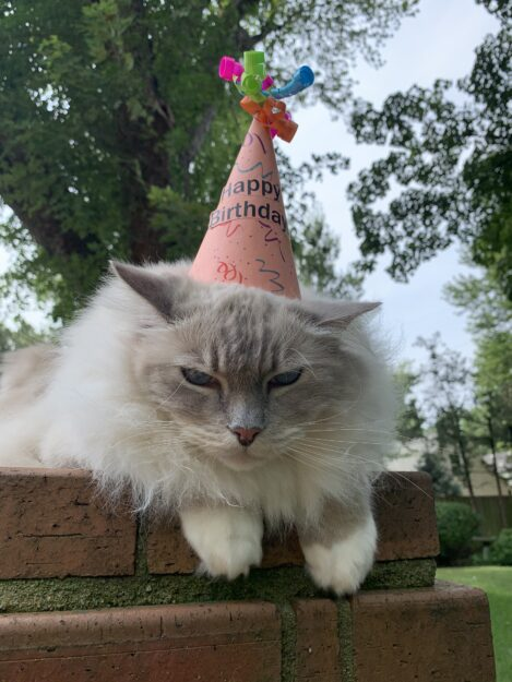Ragdoll cat outside on a brick wall