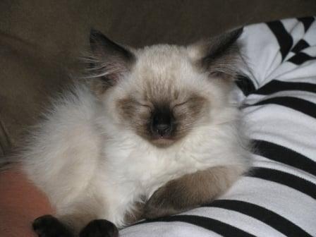 Meet Adult Ragdoll Cats