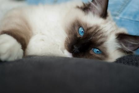 Fuzzy, Seal Mitted Ragdoll
