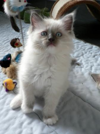 Pacificat Ragdolls Kitten