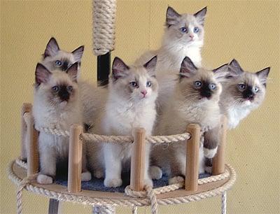 Ragdoll Kitten Photos