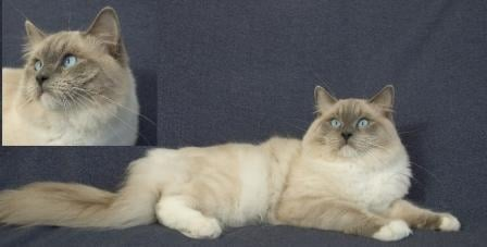 Echoglen Hugs-N-Kisses of KissingRagdolls Cattery