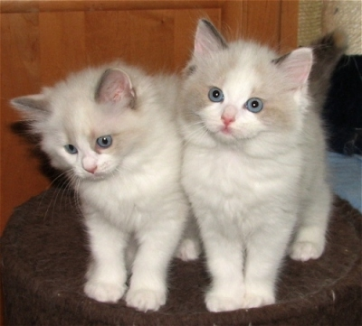 Angelight Ragdolls Kittens