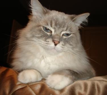 Skyy, a Blue Lynx Mitted Ragdoll cat.