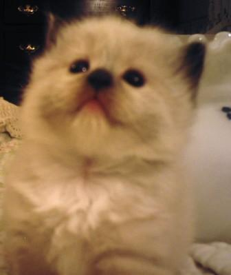 RHETORICAL RAGDOLLS Kitten