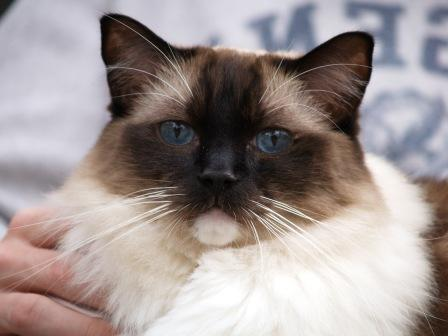 Caymus, a Seal Mitted Ragdoll